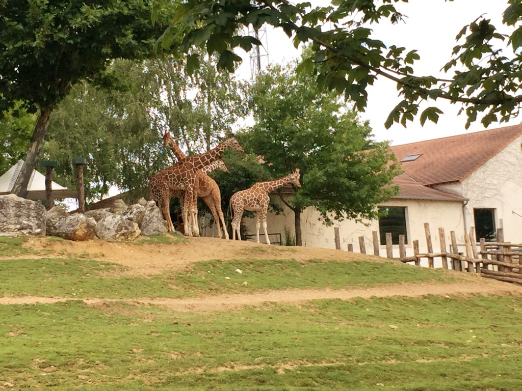 girafes zoo de Beauval