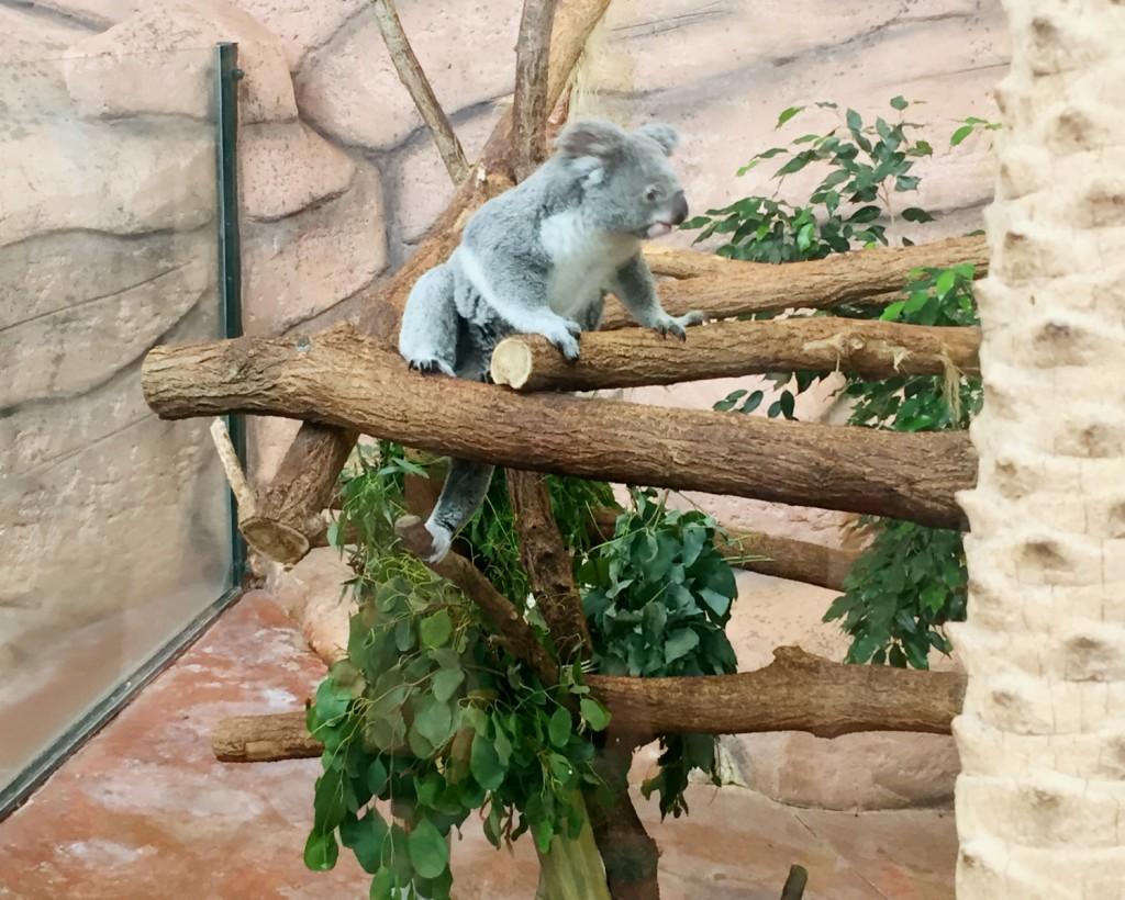 koala zoo de Beauval