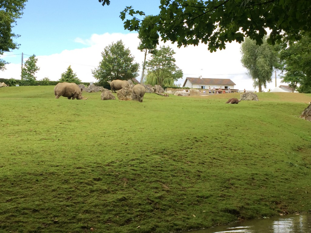 rhinocéros plaine africaine zo ode Beauval